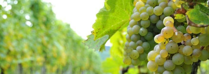 Vignobles du pays d'Arles